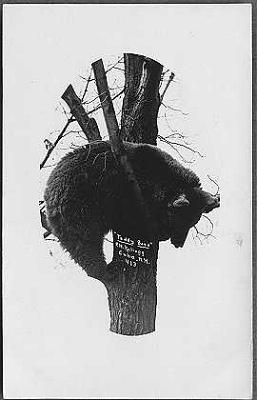 Cuba-Bear-in-Tree